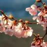 Cherry blossoms(日を浴びて)