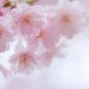 桜色ふわり