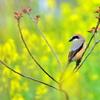 百舌鳥♂と菜の花
