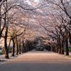 暮れる桜並木