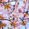 蝦夷の桜 さわやかに