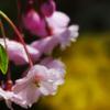 2012桜コレクション
