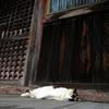 狸のお昼寝?