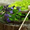 山紫陽花(やまあじさい)見ごろ