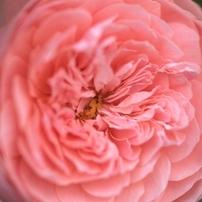 薔薇を見つめて