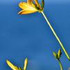 ニッコウキスゲ(海岸に咲く花)⑥