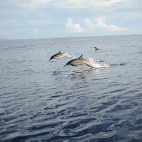 小笠原の海豚たち