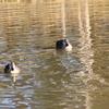 北山公園の鴨(1)