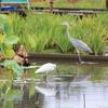 二羽の白鷺(2)