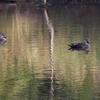 鴨の群れ(1)