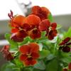 ベランダで咲く花