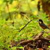 宮の森のヤマガラ1