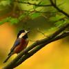 宮の森のヤマガラ2