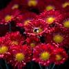 菊の展覧会1