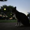 夕暮れの猫