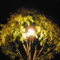 夜の銀杏03