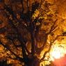 夜の銀杏05