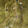 水辺の宝石 カワセミ