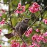 寒緋桜のヒヨドリ
