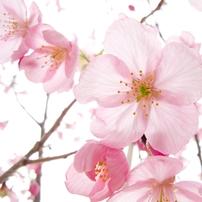 陽光桜_02