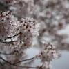 ぼんぼり桜
