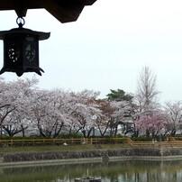 長岡天満宮の桜01