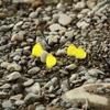 キチョウの憩い IMG_2041b