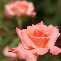 チェリッシュ (Rosa Cherish)