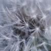 綿毛の世界