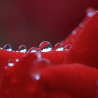 花便り - 水滴の中のバラ園 -