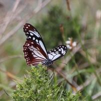 私の中の準国蝶達