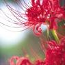 秋の訪れを告げる花