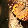 野山の蝶たち