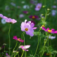 Flowers streaming in wind   (秋桜)