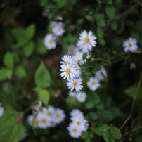 秋の野花 野菊3