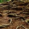 鞍馬山の木の根の道