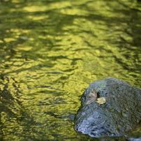 菊池渓谷 秋の色