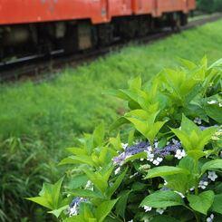 線路脇の額紫陽花