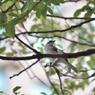台湾の野鳥【シロガシラ】