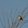 台湾の野鳥【ミドリカラスモドキ幼鳥】