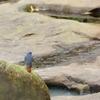 台湾の野鳥【カワビタキ-1】