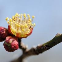 2014年の梅の花