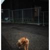 「夕暮れの猫くん」川越散歩 50