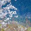 狐の嫁入り 花吹雪
