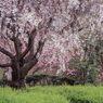 霞む枝垂れ桜