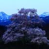 向野の桜(江戸彼岸桜)