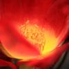 深紅の薔薇 -S、T