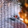 カンムリ鳩