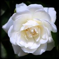2014・05月の白バラ-444