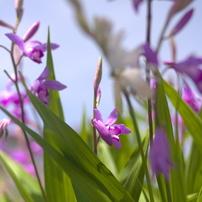 ②緑萌ゆー紫蘭の園 4143